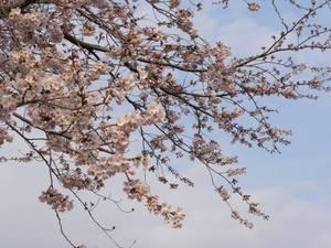 Sakura00
